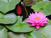 fish water lily