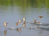 flying American Black Ducks Oswego River Fulton