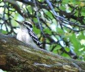 hairy woodpecker Granby Getaway2