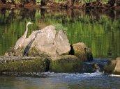 heron Oswego River Fulton