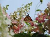 monarch butterfly flowers garden