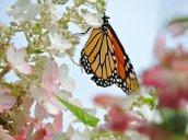 monarch butterfly flowers garden2