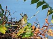 sparrow Oswego River Fulton