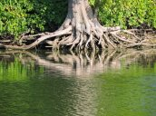 tree roots Oswego River Fulton