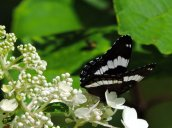 white admiral butterfly flower