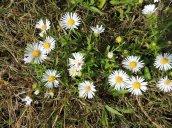 daisy fleabane flowers North Bay