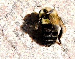 bumble bee yard