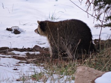 raccon with porcupine quills yard