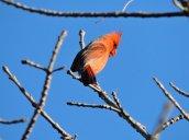 cardinal Oswego River Fulton