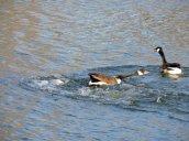 chasing geese Oswego River Futlon