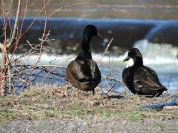 duck couple Oswego River Fulton2