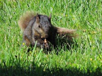 black squirrel yard
