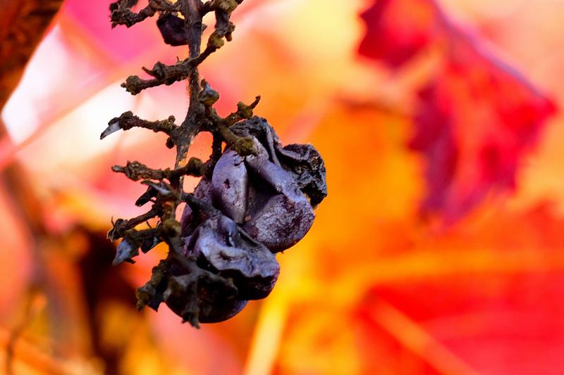 Shriveled Grapes
