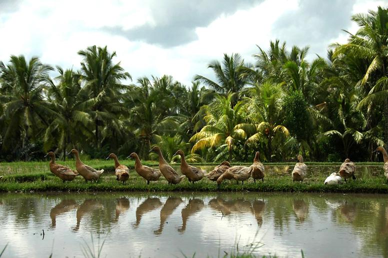 Herding ducks in Indonesia