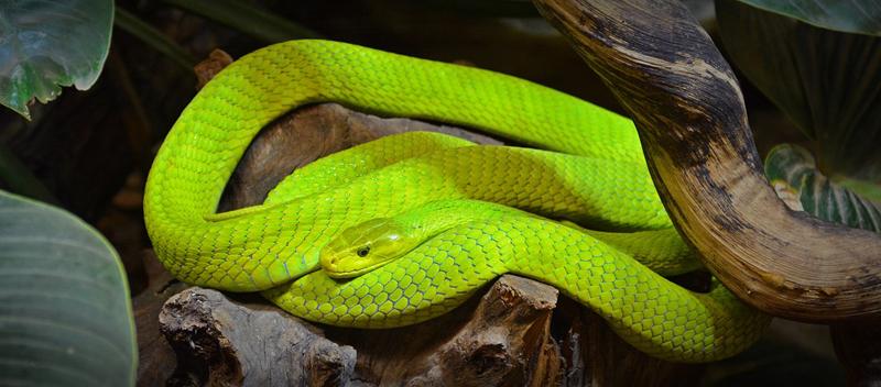 Venemous African snake