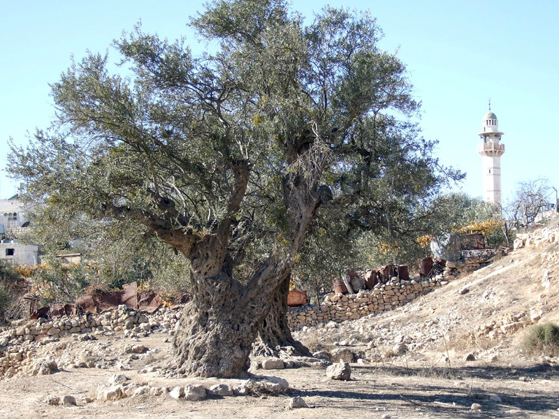 Ancient olive tree in Palestine