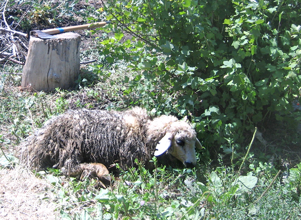 Khorovats sheep