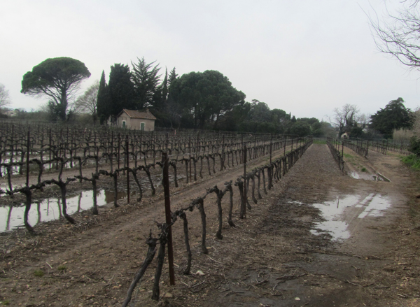 Sodden vinyard