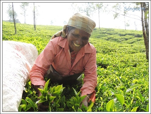 Coonoor Tea Gardens-AnthonyAmma3