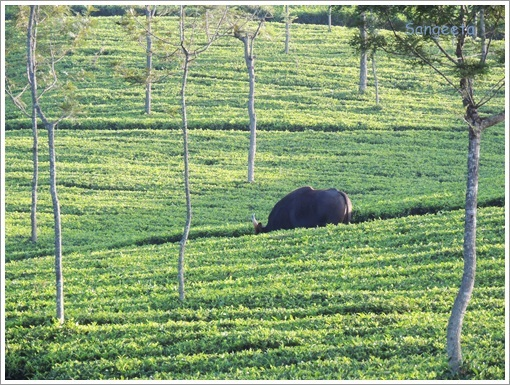 Green Therapy in Coonoor Bison