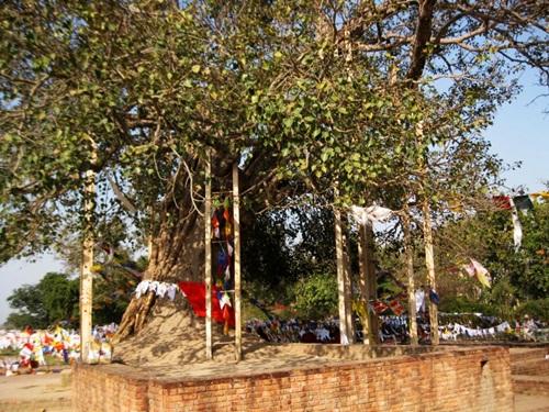 Sravasti Jetavan Bodhi Tree