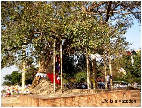 Sravasti Bodhi Tree