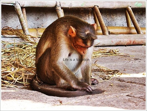 Hampi Virupaksha Temple Monkey