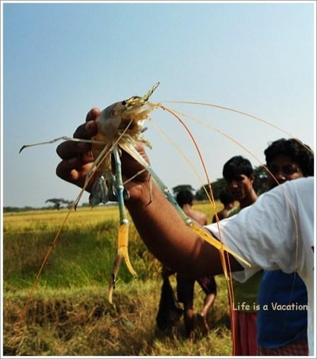 Bengal Countryside Fishing