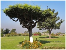 Twisted Tree, Mughal Gardens, Srinagar