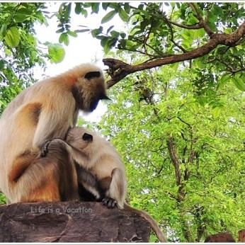 Omkareshwar Parikrama Monkey