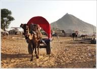 Pushkar Fair Rajasthan Camel