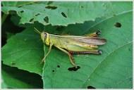 Botanical Garden Kolkata - Grasshopper at rest