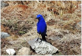 Goechala Trek with Wildboots; Blue Bird