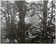 Goechala Trek with Wildboots; Rhododendrons