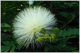 Asus-zenfone2-WhiteFlower2