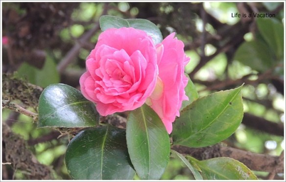 Darjeeling_Pink_Rose