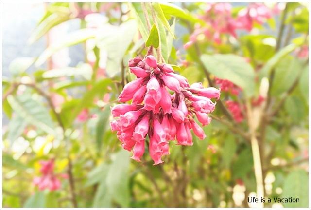 Sandakphu_Pink_Flower