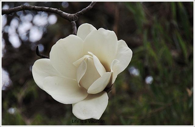 Sandakphu_White_Magnolia