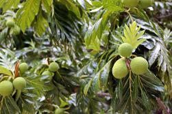 Der Brotfruchtbaum. Die runden Früchte sind essbar.