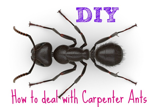 Carpenter-Ants