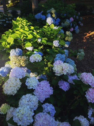 Hydrangea Hedge | Life Is Sweet As A Peach