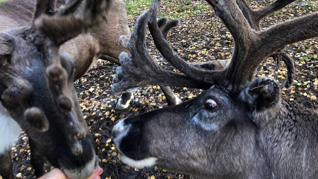 A close up of a reindeer face with the eye clearly looking at the food