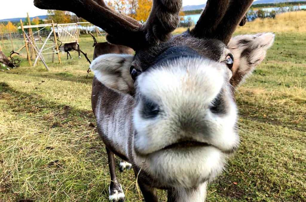 A close up of a reindeer's nose