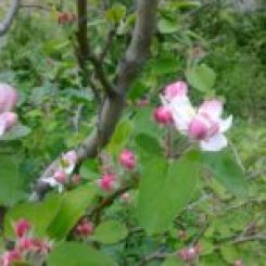 Apple blossom in my messy spring garden