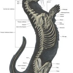 Skunk Skeleton Diagram Temperate Forest Food Web Anatomy Skeletal System  Lifelong Learning With Ot
