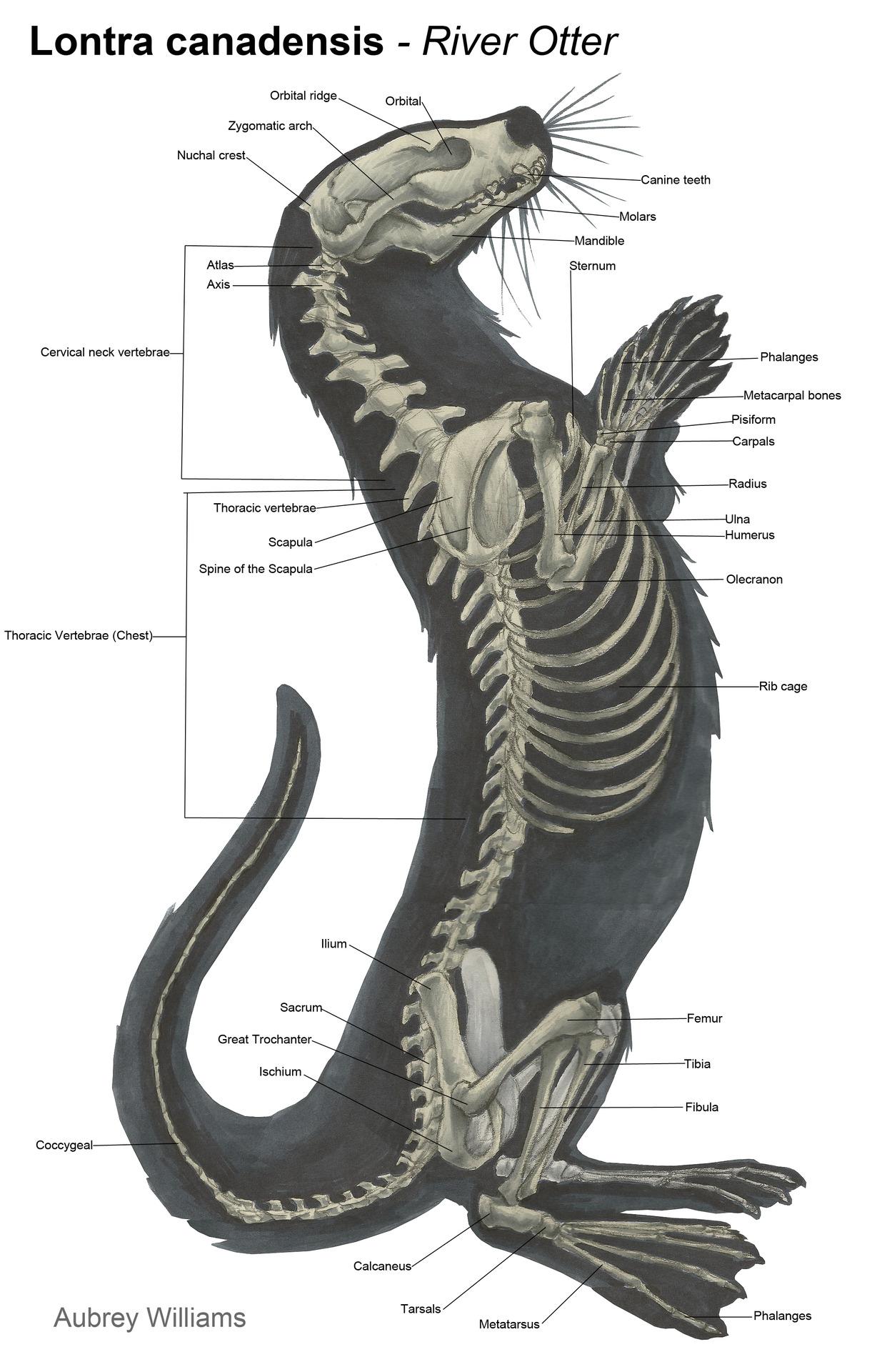 skunk anatomy diagram visio virtual machine skeletal system  lifelong learning with ot
