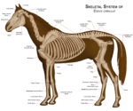 Horse skeleton diagram