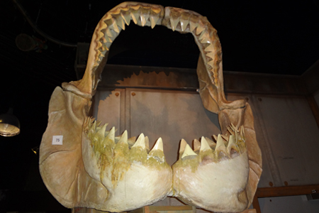 Megalodon Jaw Bone at Ripley's Believe It Or Not