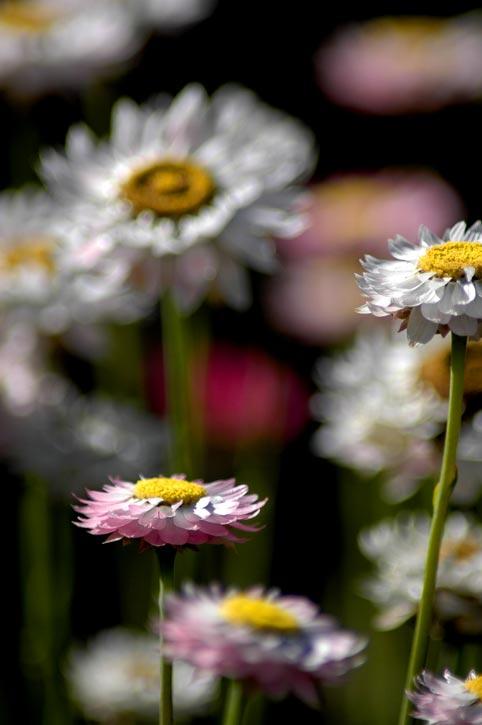 фото садовых цветов тюльпаны