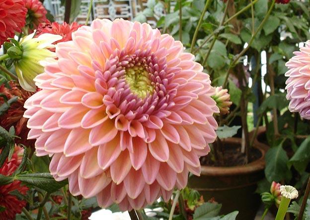 фото садовых цветов георгин